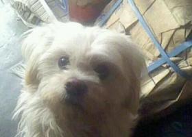 寻狗启示,东省泰安市寻狗光彩大市场丢失一只长毛白狗脖子上有小铃铛,它是一只非常可爱的宠物狗狗,希望它早日回家,不要变成流浪狗。