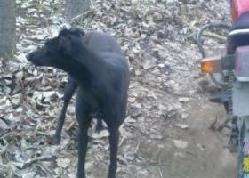 寻狗启示,东省济宁市泗水曲阜寻狗左耳少一半浑身黑色前胸一点白母狗,它是一只非常可爱的宠物狗狗,希望它早日回家,不要变成流浪狗。