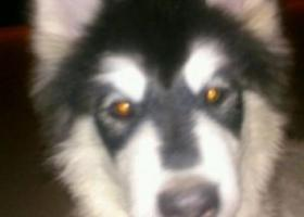寻狗启示,东省曲阜市寻狗四个月大头是黑色的身体是白色的阿拉斯加,它是一只非常可爱的宠物狗狗,希望它早日回家,不要变成流浪狗。