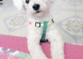 寻狗启示,蒙古锡林浩特市寻狗华油小区走丢名叫米粒儿比熊腿长做过截尾,它是一只非常可爱的宠物狗狗,希望它早日回家,不要变成流浪狗。