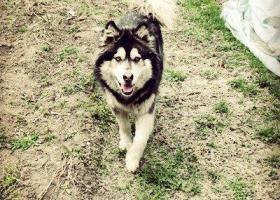 林省通化市寻狗江北加油站附近走失黑色阿拉斯加母狗