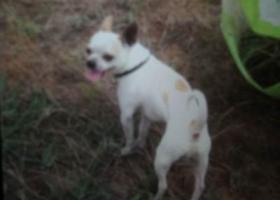 寻狗启示,西省榆林市神木县寻狗吉娃娃狗右眼碰过眼球发白,它是一只非常可爱的宠物狗狗,希望它早日回家,不要变成流浪狗。