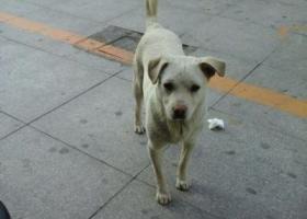 寻狗启示,苏省宿迁市泗阳县寻狗中华广场附近走失名字叫贝贝白色的,它是一只非常可爱的宠物狗狗,希望它早日回家,不要变成流浪狗。