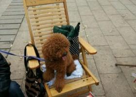庆市万州区寻狗名叫王子的泰迪