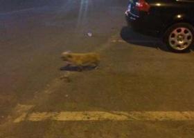 寻狗启示,林省白城市发现一只流浪狗黄色的小博美,它是一只非常可爱的宠物狗狗,希望它早日回家,不要变成流浪狗。