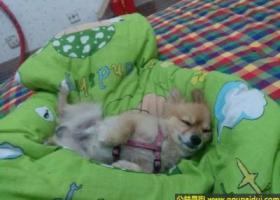寻狗启示,南省三门峡市寻狗经一路建设路彩票店附近丢失名叫领带五岁博美,它是一只非常可爱的宠物狗狗,希望它早日回家,不要变成流浪狗。