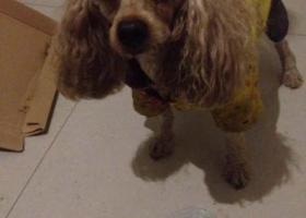 寻狗启示,川省绵阳市紫阳村天英庄(火锅店)捡到一只狗狗,它是一只非常可爱的宠物狗狗,希望它早日回家,不要变成流浪狗。