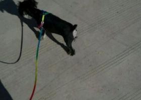 寻狗启示,西省运城市寻狗运城职业技术学院门口走失名叫四美银黑色雪纳瑞,它是一只非常可爱的宠物狗狗,希望它早日回家,不要变成流浪狗。