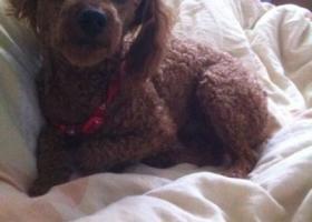 寻狗启示,东省临沂市寻狗兰山区临西二路走失了一只泰迪公狗名叫毛毛,它是一只非常可爱的宠物狗狗,希望它早日回家,不要变成流浪狗。