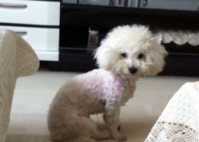 寻狗启示,西省侯马市寻狗新田路上走失比熊狗刚刚剃毛,它是一只非常可爱的宠物狗狗,希望它早日回家,不要变成流浪狗。