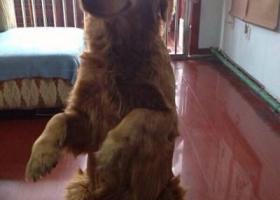 寻狗启示,龙江省黑河市嫩江县寻狗两只金毛,它是一只非常可爱的宠物狗狗,希望它早日回家,不要变成流浪狗。