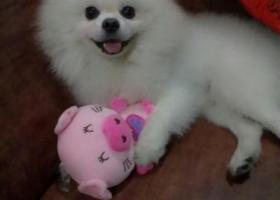 寻狗启示,东省阳江市寻狗二环路粤海酒店附近走失名叫宝宝白色狗狗,它是一只非常可爱的宠物狗狗,希望它早日回家,不要变成流浪狗。
