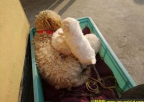 寻狗启示,苏省泰州市兴化市寻狗名叫乖乖香槟色母狗泰迪串串,它是一只非常可爱的宠物狗狗,希望它早日回家,不要变成流浪狗。