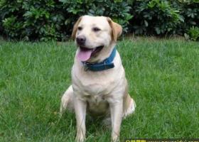 寻狗启示,南省楚雄彝族自治州禄丰县寻狗浅黄色拉布拉多犬,它是一只非常可爱的宠物狗狗,希望它早日回家,不要变成流浪狗。