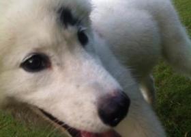 寻狗启示,北省黄石市寻狗四个月大白色萨摩耶左眼眼睛上有黑色的毛,它是一只非常可爱的宠物狗狗,希望它早日回家,不要变成流浪狗。