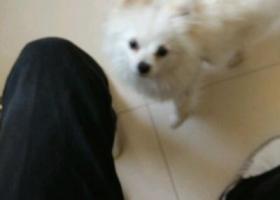寻狗启示,东省济宁市汶上县寻狗名叫米奇白色博美犬,它是一只非常可爱的宠物狗狗,希望它早日回家,不要变成流浪狗。