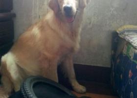 寻狗启示,东济宁市寻狗中区掉了只金毛一岁半母狗,它是一只非常可爱的宠物狗狗,希望它早日回家,不要变成流浪狗。