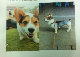 庆市北碚区寻狗毛色为黑白黄大耳朵没有尾巴脖子带有红色狗圈