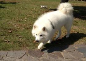 寻狗启示,西省宝鸡市寻狗白色萨摩,它是一只非常可爱的宠物狗狗,希望它早日回家,不要变成流浪狗。