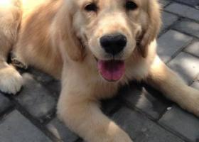 寻狗启示,东省淄博市寻狗山铝三泉村小区名叫cherry茄瑞金毛狗,它是一只非常可爱的宠物狗狗,希望它早日回家,不要变成流浪狗。