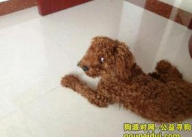 寻狗启示,东省潍坊市滨海开发区寻狗泰迪狗,它是一只非常可爱的宠物狗狗,希望它早日回家,不要变成流浪狗。