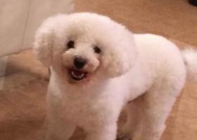 江省台州市温岭市寻狗新车站附近丢失3岁白色的比熊公狗