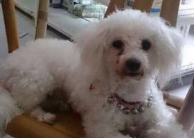 寻狗启示,西省抚州市黎川县寻狗名叫卷毛白马附近丢失,它是一只非常可爱的宠物狗狗,希望它早日回家,不要变成流浪狗。