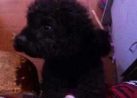 寻狗启示,南省漯河市寻狗汉江路丢失黑色泰迪名叫皮皮,它是一只非常可爱的宠物狗狗,希望它早日回家,不要变成流浪狗。