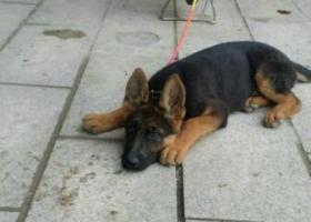 寻狗启示,东省济宁市金乡县寻狗,它是一只非常可爱的宠物狗狗,希望它早日回家,不要变成流浪狗。