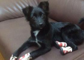 寻狗启示,西省忻州市繁峙县寻狗季家庄村黑色长毛喉咙处有一道明显白色毛,它是一只非常可爱的宠物狗狗,希望它早日回家,不要变成流浪狗。