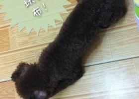 海市黄浦区寻狗深棕褐色迷你贵宾犬名叫贝贝