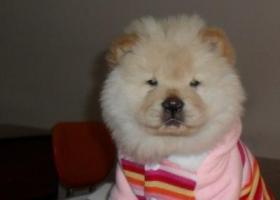 寻狗启示,州铜仁(碧江区)寻奶油色成年母松狮 北门农机公司丢失 名叫啦啦,它是一只非常可爱的宠物狗狗,希望它早日回家,不要变成流浪狗。
