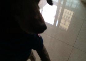 4年8月24号上海闵行区君莲A块丢了一只刚剃光毛的不纯种的贵宾弟弟
