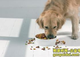 成犬金毛吃什么狗粮好