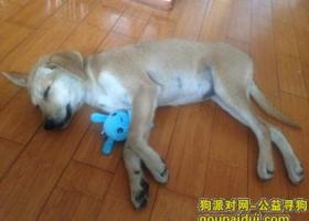 寻狗启示,岛市龙岗路KIA 4S店门口偶遇一条 棕黄色母狗 像拉布拉多。,它是一只非常可爱的宠物狗狗,希望它早日回家,不要变成流浪狗。