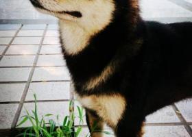 寻狗启示,9月15日丢失一黑色柴犬。,它是一只非常可爱的宠物狗狗,希望它早日回家,不要变成流浪狗。