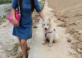 圳西丽,天虹附近,丢失一只萨摩耶,2014中秋节那天,狗狗4个月当时