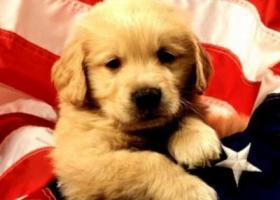 金毛幼犬吃什么狗粮