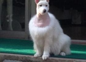 萨摩耶犬狗粮