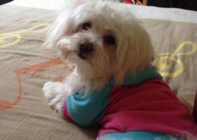 寻狗启示,急寻2014-12-7芜湖火龙岗白马小区附近都是白色比熊串,它是一只非常可爱的宠物狗狗,希望它早日回家,不要变成流浪狗。