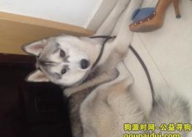 寻狗启示,寻找10个月大的哈士奇,它是一只非常可爱的宠物狗狗,希望它早日回家,不要变成流浪狗。