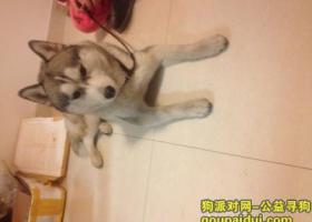寻狗启示,寻找哈士奇,它是一只非常可爱的宠物狗狗,希望它早日回家,不要变成流浪狗。