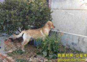1月16日在南阳天桥附近丢失黄色拉布拉多成犬