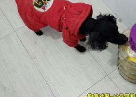 寻狗启示,黑色泰迪走失,它是一只非常可爱的宠物狗狗,希望它早日回家,不要变成流浪狗。