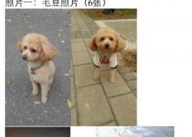 万元寻狗,昌平霍营邮政银行外丢失泰迪,只有一只狗蛋,脖系绿色挂铃项圈