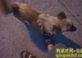 南京仙林丢失一只黄色大卷尾串串母狗