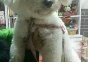 洛宁县烈士陵园东附近丢失一只白色比熊犬长约55厘米重约14斤