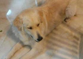 寻狗启示,诏安县寻狗,它是一只非常可爱的宠物狗狗,希望它早日回家,不要变成流浪狗。