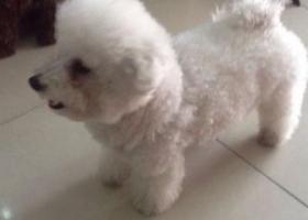 南阳市淅川县体育场足球场附近走失一白色小比熊