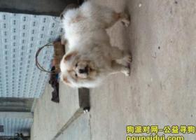 寻狗启示,望江寻找白色松狮,它是一只非常可爱的宠物狗狗,希望它早日回家,不要变成流浪狗。